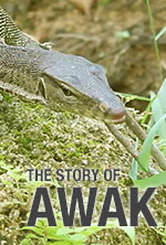 The Story of Awak